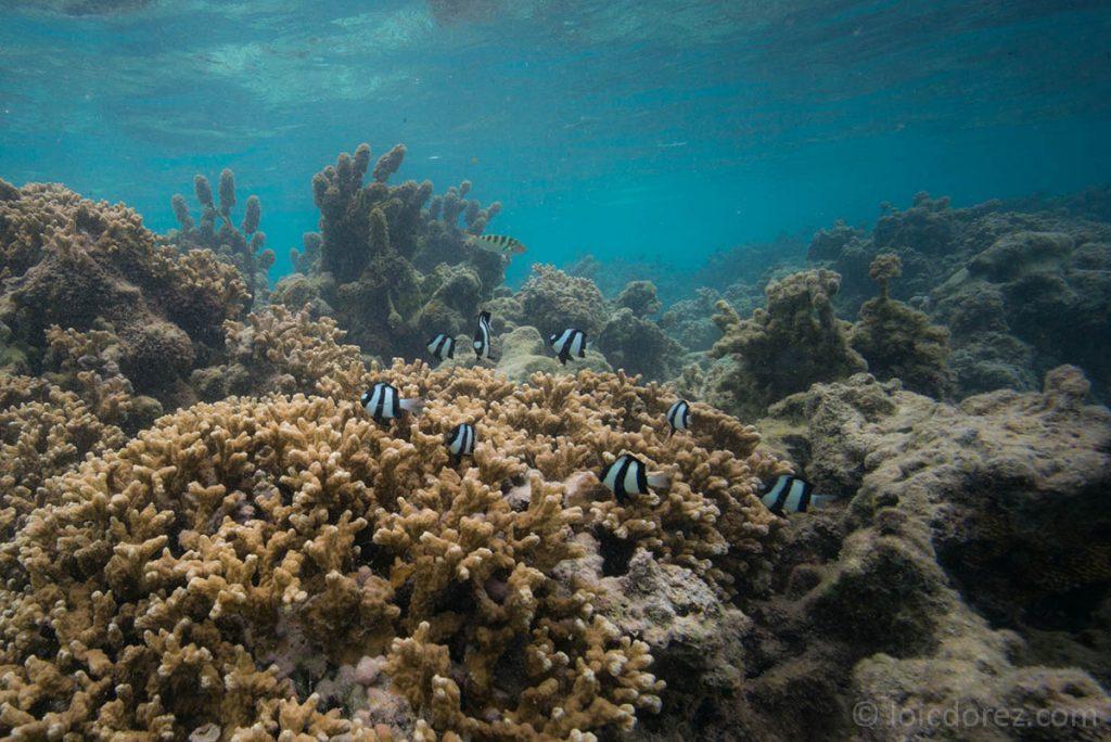 Les poissons tropicaux : le poisson demoiselle à trois bandes noires