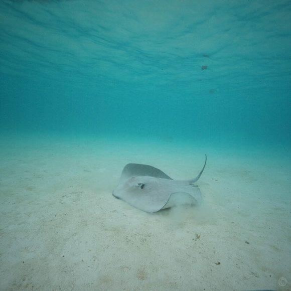 Les poissons tropicaux : la raie pastenague