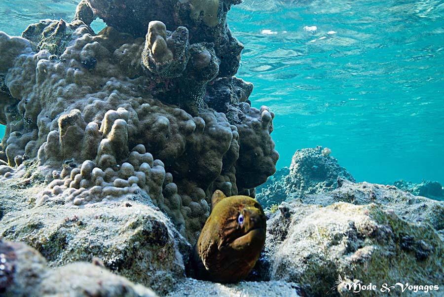 Les poissons tropicaux : la murène et ses dangers