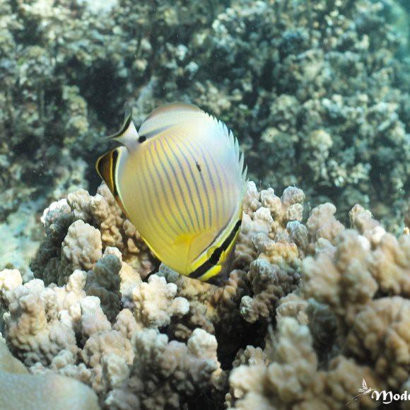 Le poisson-papillon côtelé du Pacifique