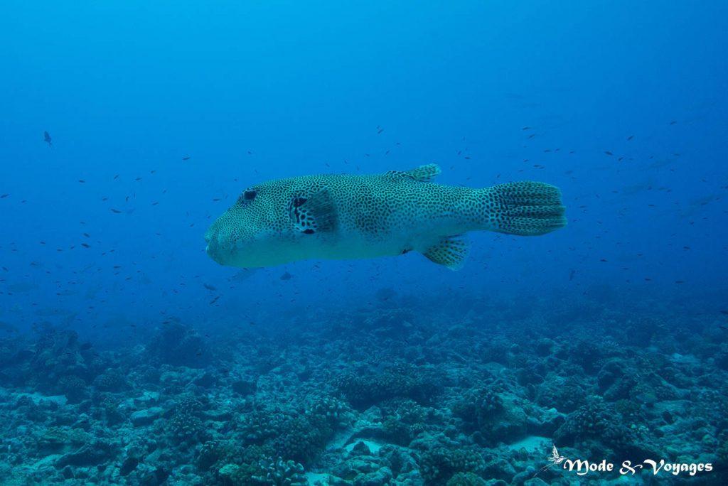 Le poisson-ballon géant ou poisson-ballon étoilé