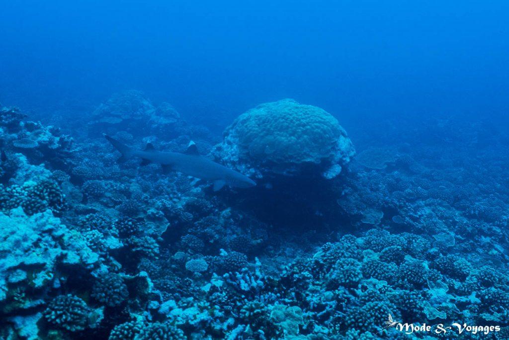Le requin corail alias requin pointe blanche du lagon